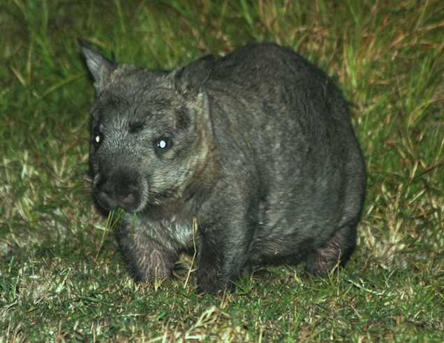 Northern Hairy Nosed Wombat, source A. Horsup
